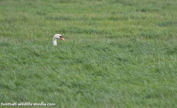 Swan in a sea of grass